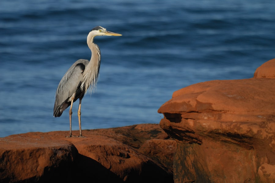 photo-6-un-grand-heron-credit-photo-alain-bouchard