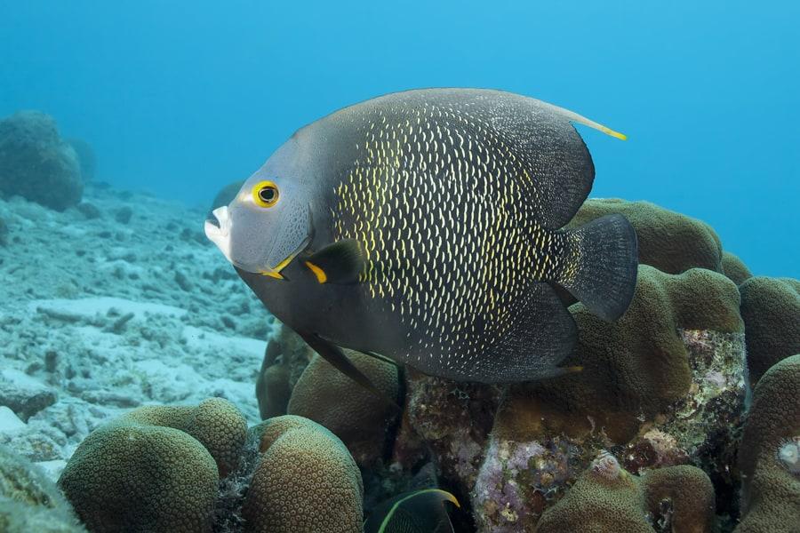 Photo 7 - Un poisson-ange francais nage dans la mer des Caraibes Credit photo Andrew Jalbert Shutterstock